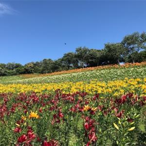 可睡ゆりの園(静岡県袋井市)-一面満開のゆりの花畑