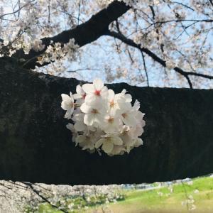 桜見ても良いかしら…