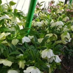 今日の庭(クリスマスローズとプラムとスノーフレーク開花中)