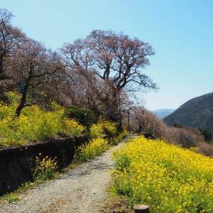 高知県:仁淀川町 ひょうたん桜へ