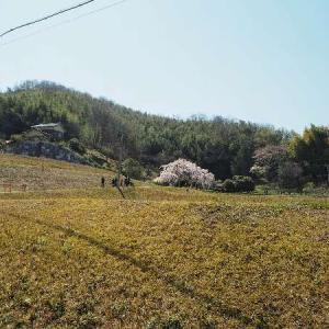綾川のしだれ桜(堀池のしだれ桜)と、空港公園と、公渕公園