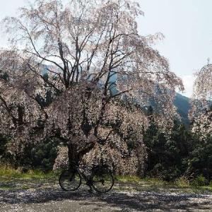 貢公園へお花見サイクリング~♪『ひどい』って言われて戸惑う。