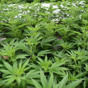 【大麻の歴史】2000年の伝統が違法化された裏側とは?