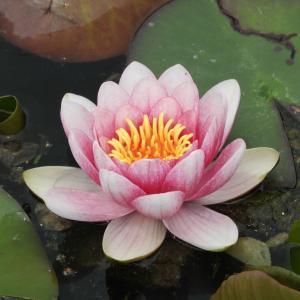 ちょっと早すぎない?上野沼の蓮の花