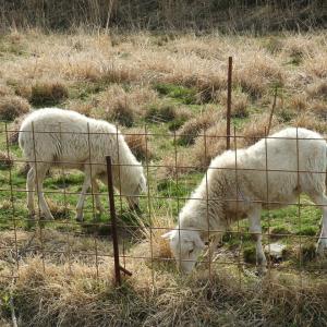 桜川市上城でモコモコな羊さん発見!