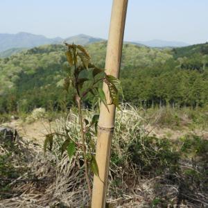 植樹した可愛いらしいヤマザクラは今