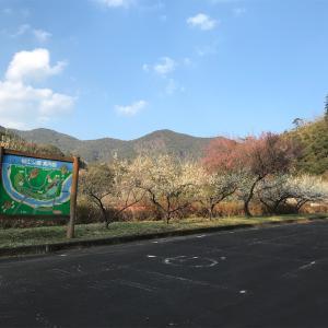 坂本ダム 楠山公園の梅園と日平オートキャンプ場