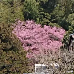 赤みの強い桜