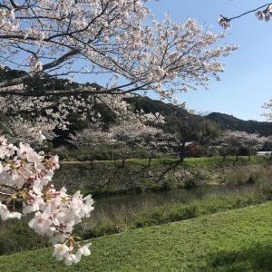 桜(宿毛市平田)