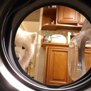 洗濯機を覗くサモエド
