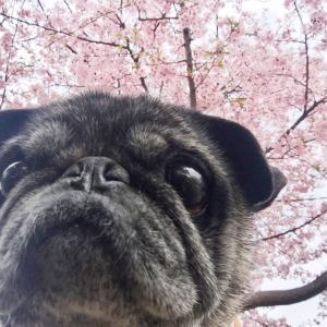 こ  梅と桜