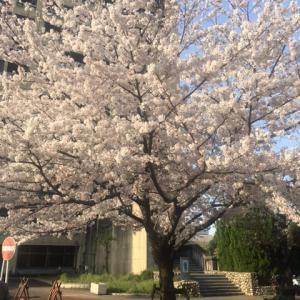 今年の桜は開花が早い