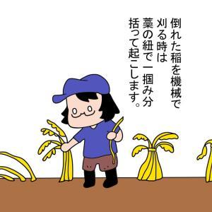 稲刈りのラストボス&倒れた稲の起こし方