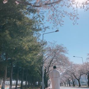 車に乗りながら桜を楽しめるスポット。