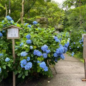 紫陽花を見に鎌倉へ!