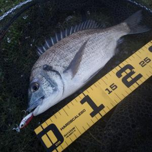 奄美チヌ釣り