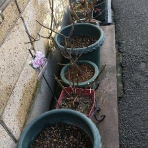 雨の日が続きます。暖かいのでバラの植え替え