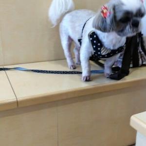 桃君 狂犬病予防接種 &健康診断に行きました