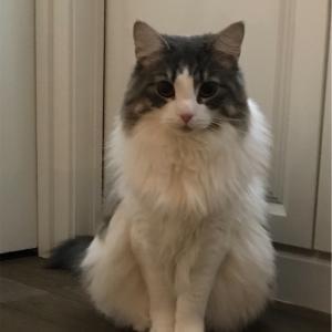 ノルウェージャンの猫パンチ💫 練習も〜⁉️💗