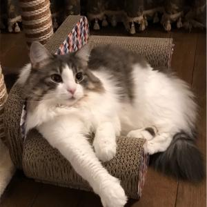 「お座り、お手❗️」猫のミニ、練習中💓その成果は〜⁉️