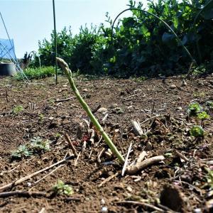 葱の植え替え・・・この冬の残り分です