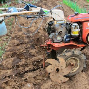 さつま芋の苗を植え込みました・・・今年植え込みはほぼ終了です