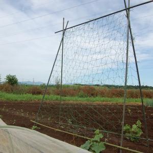 今日から夏です・・・胡瓜のネットがけ