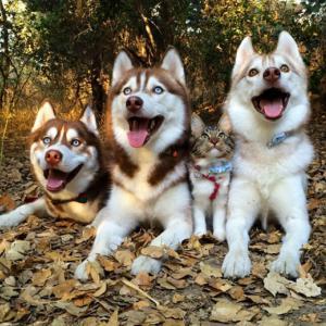 「ハスキー犬になった子猫」ひとりぼっちで保護され、優しいハスキーに育てられた結果……【総集編