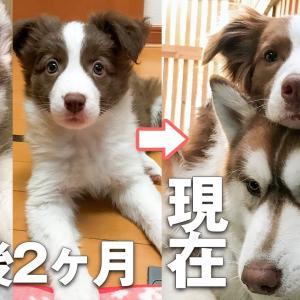 【幼馴染み】仲良しなシベリアンハスキーとボーダーコリーの子犬から成犬までの記録