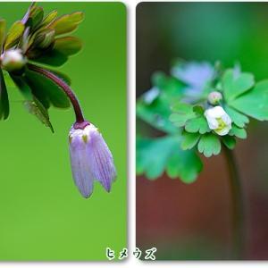 ヒメウズ&キュウリグサ、小さな小さな花だけど