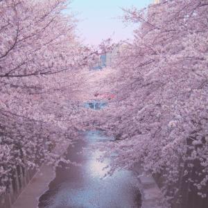 逆境の中で咲く桜