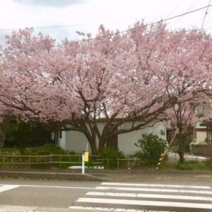 早咲き桜でお花見