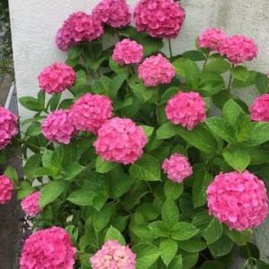 梅雨の花 アジサイ