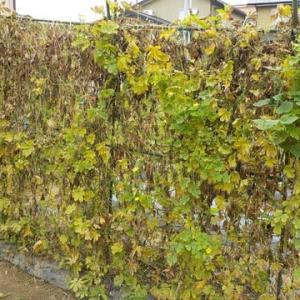 秋深し… ゴーヤカーテンの中からスズメウリ。