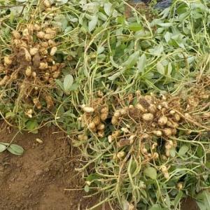 落花生の収穫と金ゴマの実取り