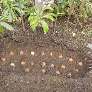 遅まきながら、チューリップの球根植え