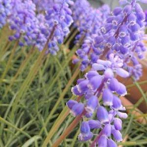 大好きな冬とのお別れ、ムスカリの花を添えて。
