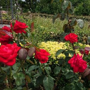 薔薇を赤く塗ろう♪アリスの世界に迷いこみました