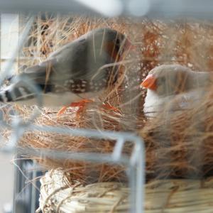 キンカチョウの巣作り