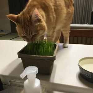 猫草もぐもぐ