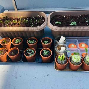 プランター菜園のその後と、買ってきた野菜を再生(水耕栽培)していること