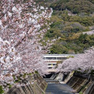 神戸 生田川の桜