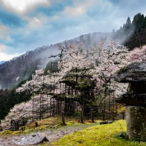 兵庫県 樽見の大桜