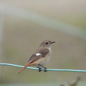 昨日,出会った野鳥