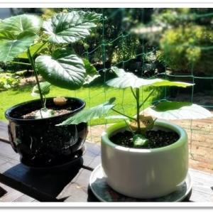 ウンベラータ。。。植替えの陶器鉢を見つけましたッ