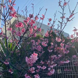 春を運んで来てくれた我が家の2つの「桜」(⑅ˊᵕˋ⑅)