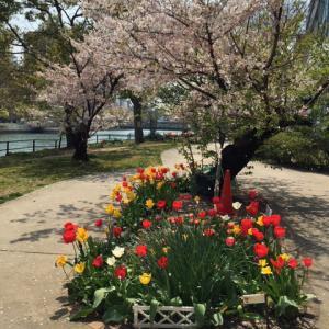 川沿いの桜とチューリップ