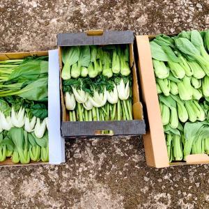 【Farmer】広東野菜のトリプルセット♡