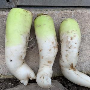 【Farmer 】大根の結果&農家の家庭菜園。
