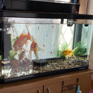 初夏の金魚生活